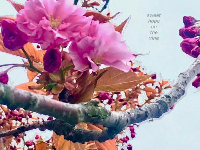 sweet hope on the vine.jpg
